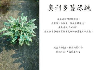 心栽花坊-奧利多蔓綠絨/6吋/觀葉植物/室內植物/綠化植物/售價160特價140