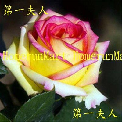 ZRE第一夫人玫瑰種子5粒法國玫瑰花種子 坦尼克粉佳人茱麗葉 海洋之歌路易十四 冷美人藍色妖姬 黑巴克黃色龍紋玫瑰種子