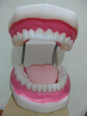 牙齒 模型 保母 訓練 嬰兒 幼童 人體 護理
