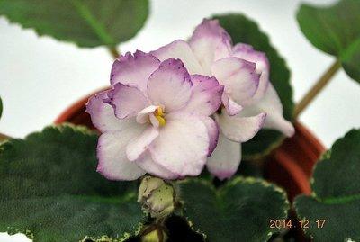 堤緣花語陶-淨化室內空氣植物-非洲紫羅蘭 Buckeye Blushing sport