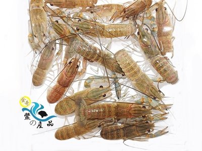 『金奇-鱉の產品』澳洲淡水龍蝦【蝦苗】5~8公分