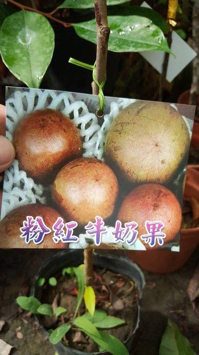 ╭*田尾玫瑰園*╯水果苗-(粉紅牛奶果)高2尺650元