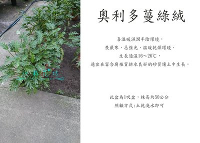 心栽花坊-奧利多蔓綠絨/9吋/觀葉植物/室內植物/綠化植物/售價800特價700