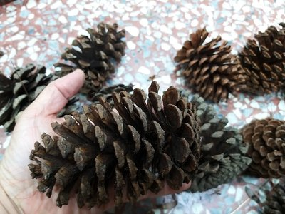 聖誕(超大松果)12公分球果