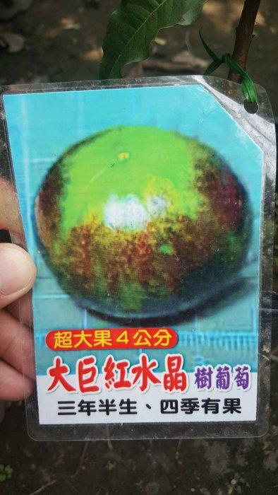 ╭*田尾玫瑰園*╯新品種水果苗-(大巨紅水晶嘉寶果)40cm800元