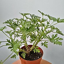 香草盆栽---芳香天竺葵 (驅蚊草)
