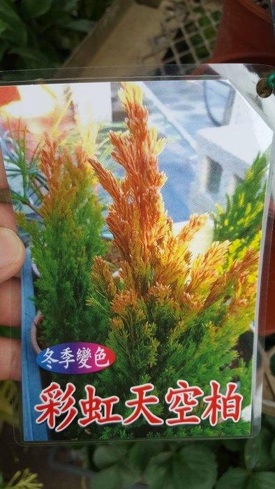 ╭*田尾玫瑰園*╯盆景素材-(彩虹天空柏)高20cm200元