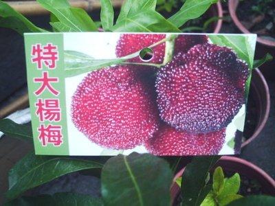 *~*台灣農業園藝*~*大果甜楊梅嫁接苗(東魁種)~可生食.可釀酒用..(已到貨)