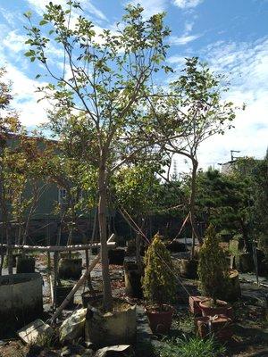【黃花風鈴木】【黃金風鈴木】新竹免運費,美植袋,米徑10公分高度350公分園藝|造景|居家綠化|陽台《樹精靈景觀造園》