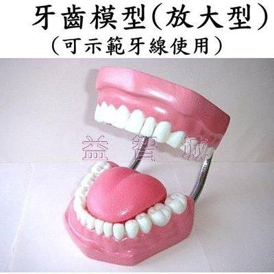 益智城新館《教學人體模型/教學模型/刷牙示範/刷牙教學/牙齒放大模型》牙齒模型/牙模型(放大型,具齒縫.可示範牙線使用)