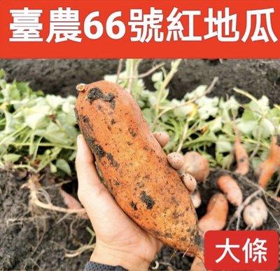 臺農66號紅心地瓜《大條》/無毒認證通過/豐富胡蘿蔔素