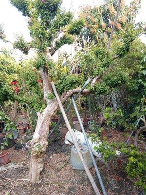八房九重葛 無刺 自行取貨 彰化 (300cm 盆栽 盆景 植栽 樹木 庭園造景 庭院造景 日本 紅花 紅色 斑葉九重葛