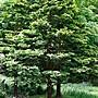英國ND 有機茶樹精油 10ml原裝 薰香、按摩、保養品DIY