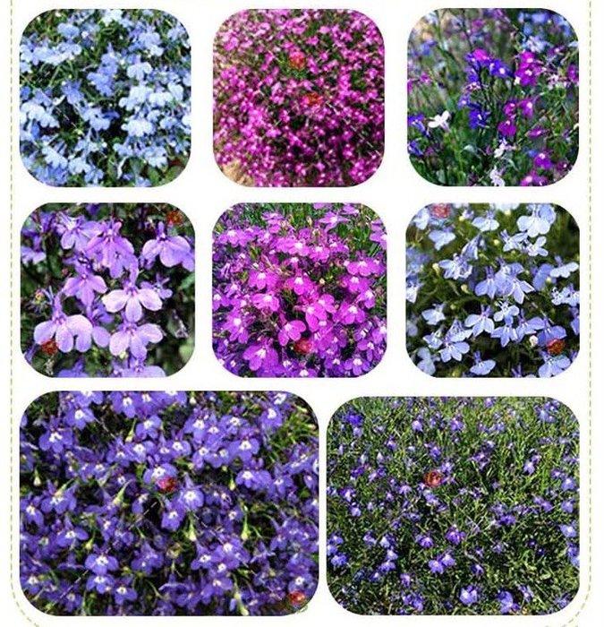 【小鮮肉肉】花卉種子四季易播 胭脂紅 粉色翠蝶花 種子10粒 垂吊花 六倍利 山梗菜