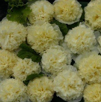 英國花園Alcea rosea Maid of Honour 重瓣蜀葵種子盆栽陽臺花壇易播好養:5入:H0014