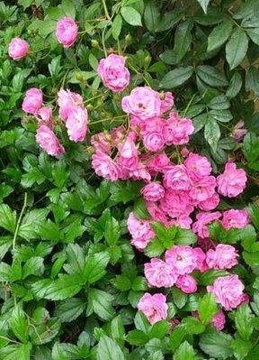 花花世界_玫瑰苗--粉滿天星,蔓性玫瑰--一莖多花/7吋盆苗/高30~50公分/Tm