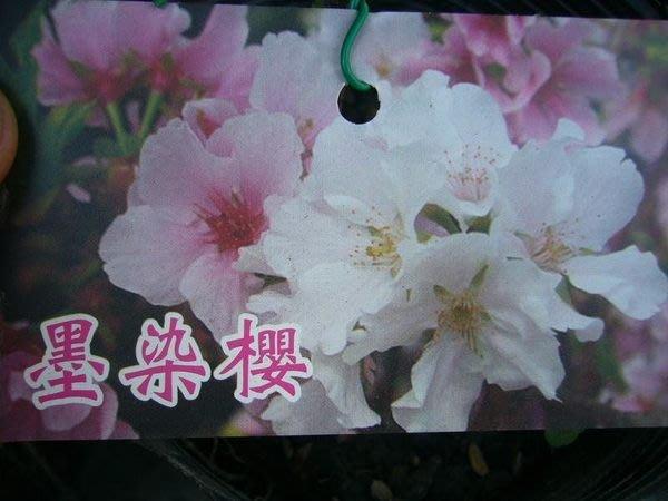 ╭*田尾玫瑰園*╯櫻花苗-(墨染櫻)150元