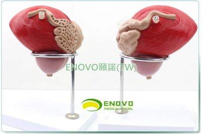 (ENOVO-288) 醫學人體膀胱模型前列腺模型泌尿生殖系統解剖泌尿科