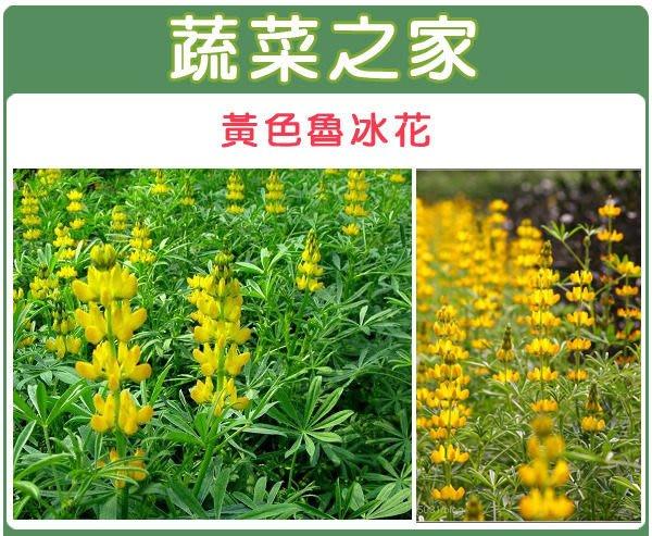 【蔬菜之家】H10.黃色魯冰花(黃花)種子20顆(根系發達,生長迅速,耐旱耐寒。花卉種子)