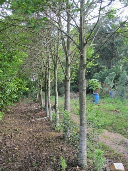 (青山園藝) 烏心石  台灣原生種~真柏桂花油杉含笑雪松龍柏櫻花肖楠紅檜