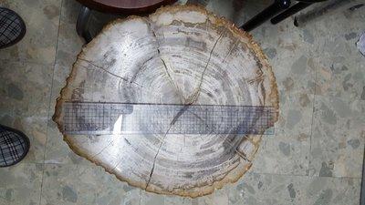 大型樹化石 約24 kg 史前東西