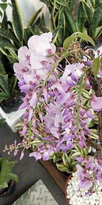 元茂園藝桃園愛買園區-新貨上架 日本紫藤花盆栽 先來先選