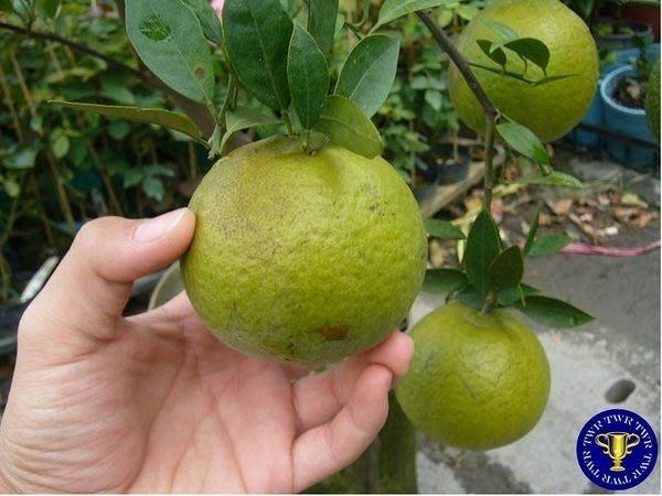 ╭*田尾玫瑰園*╯水果苗-(無仔桶柑成樹)高5-6尺.已可以結果尺寸