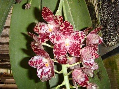 蝴蝶蘭原生種實生苗:P.gigantea x sib