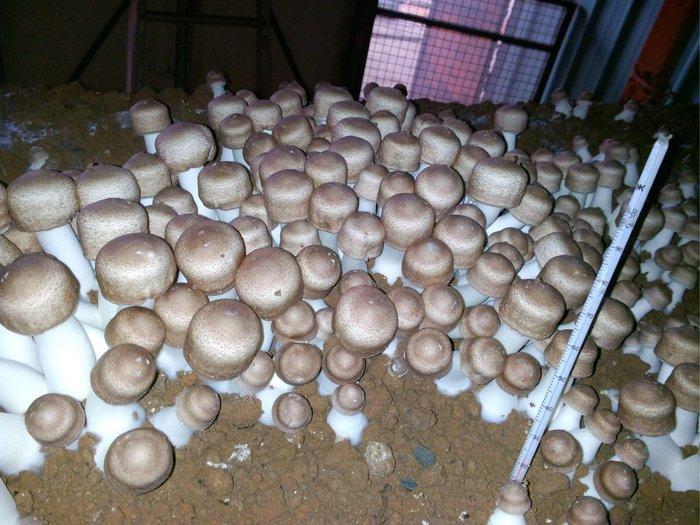 生鮮巴西蘑菇⭐️現貨開採中⭐️當天採當天寄/保證新鮮/品質優良/出口等級優良品/檢驗低於日本西德重金屬標準