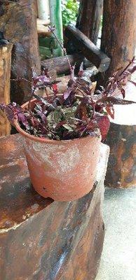 紅 田烏,( 香草藥植物),有根植株,裸根土球出貨每棵8元)促銷價每棵6元