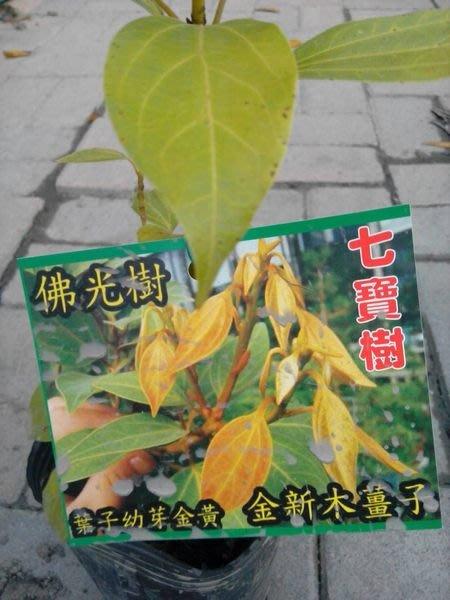 ╭*田尾玫瑰園*╯庭園用樹-( 金新木薑子.佛光樹七寶樹.)高30cm200元