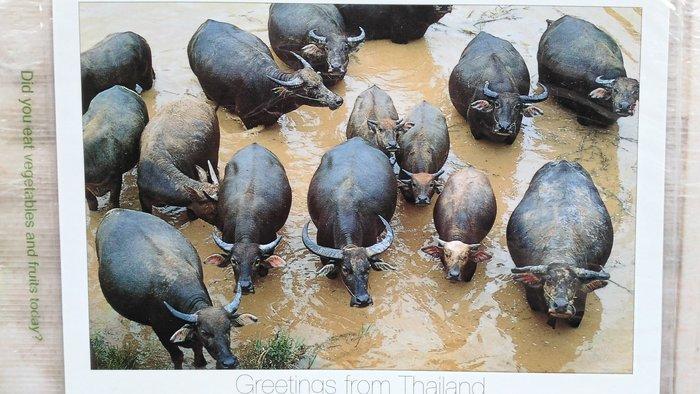 明信片 Buffalos take daily wash at the end of the day,THAILAND