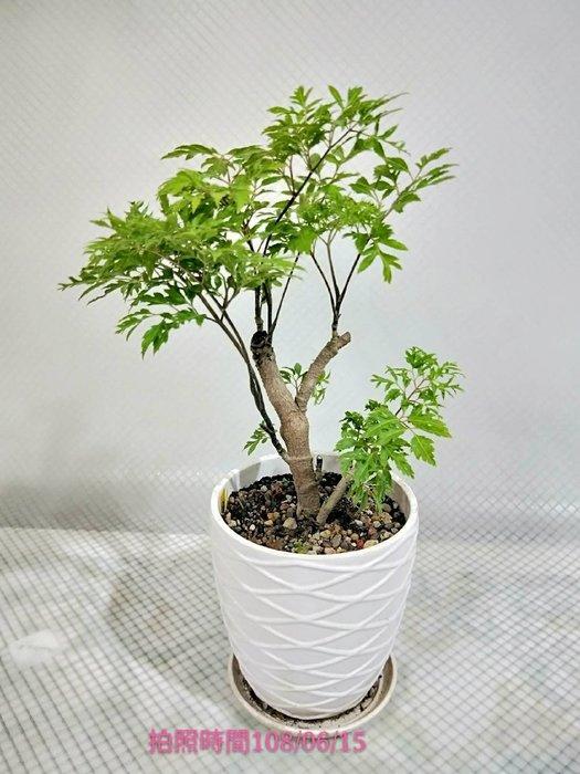 易園園藝- 羽葉福祿桐樹F34(福貴樹/風水樹)室內盆栽小品/盆景高約26公分