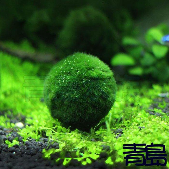 Y。。。青島水族。。。臺灣天然水草-綠藻球 綠球藻 毬藻 水中葉 翠綠鮮豔 藻球圓潤==金古錐/2-2.5cm/單顆