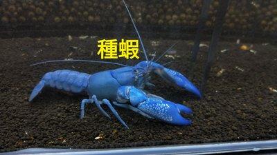 澳洲純藍螯蝦   一隻350   1組3隻   1000(含運)