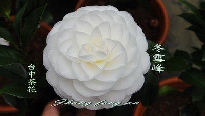 台中茶花- 冬雪峰 -(原棵茶花)-ㄅ25