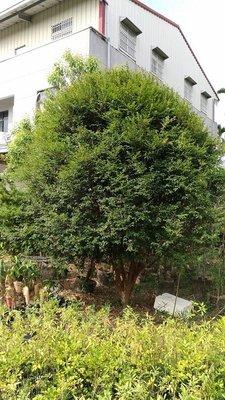 嘉義 樹葡萄,樹型美,已經結果,樹徑 15~20 公分