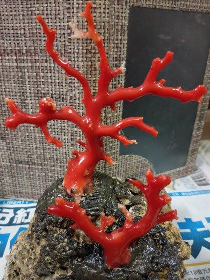 ~~『臻愛.珊瑚玉石小鋪』~天然阿卡珊瑚樹~~ ~~~~款1