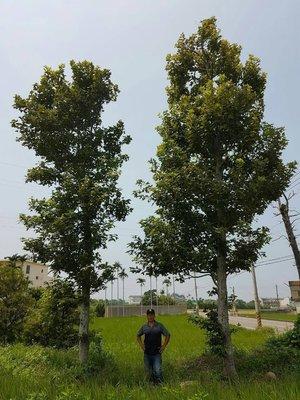 (青山園藝).楓香.三角楓.楓樹.米俓約20~22cm.高度約6~7米. 黃楓櫻花桂花