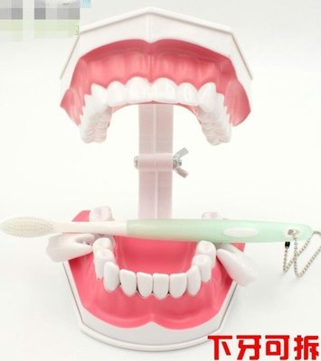 PLAYSHOP~保母練習下牙可拔/ (二倍大)牙齒模型(有牙縫)+送牙刷 保母娃娃術科 口腔護理 齒科教學 牙模 /保母術科練習牙齒模型