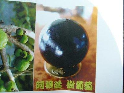 ╭*田尾玫瑰園*╯新品種庭園用樹-(阿根廷樹葡萄)(嫁接苗)