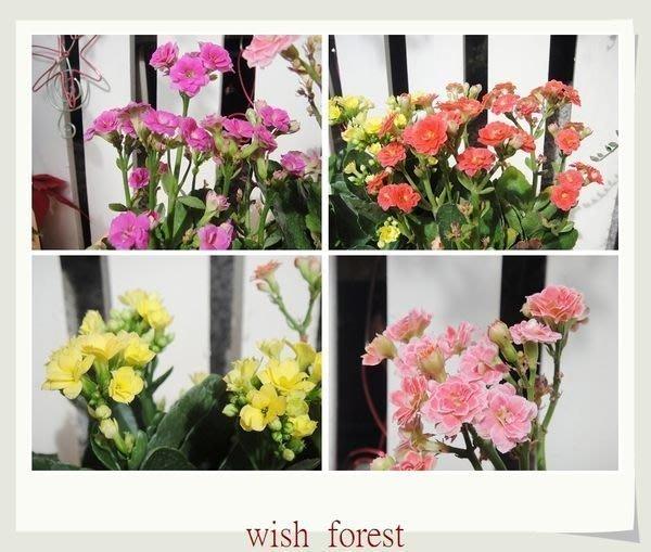 WISH FOREST【賞花植物。重瓣長壽花】。吉利討喜。花色多。花期長。改良品種。~