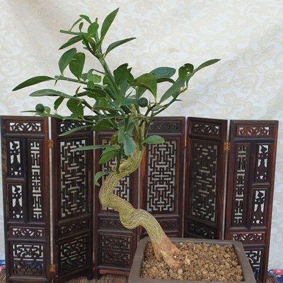 雅舍盆栽-金豆柑