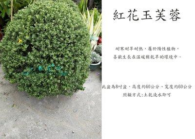 心栽花坊-紅花玉芙蓉/玉芙蓉/8吋/60公分/造型樹/綠化植物/綠籬植物/售價700特價600