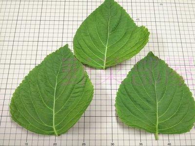 【野菜部屋~蔬菜種子】E38 韓國芝麻葉種子0.3公克(約80粒) ,日本進口 , 大葉品種 ,每包12元 ~