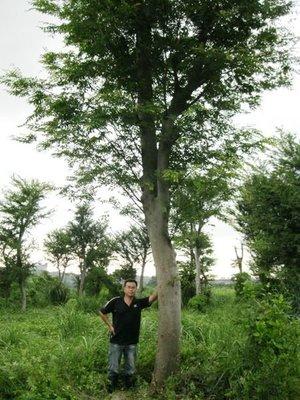 (青山園藝) 櫸木(2) 雞油  米俓30~35cm 高度8~10米  樟樹茄苳楓樹橄欖羅漢松油杉象牙木真柏
