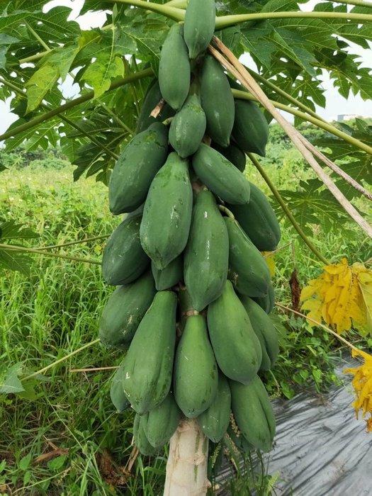木瓜,青木瓜,特價一台斤30,非公斤,有大顆,中顆,小顆,頂級熟木瓜超好吃,非一般木瓜