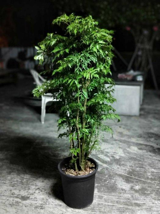 易園園藝- 羽葉福祿桐樹F31(福貴樹/風水樹)室內盆栽小品/盆景高約140公分