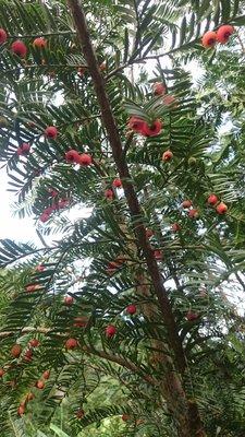 錦山苗圃紅豆杉