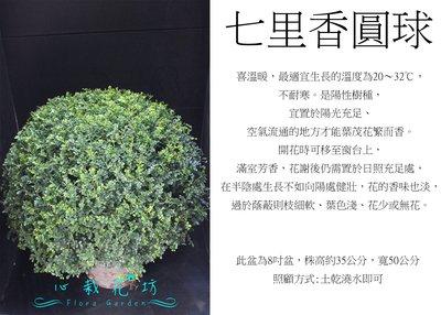 心栽花坊-細葉七里香/七里香/波波球/圓球/寬50cm/綠籬植物/圓球/造型樹/特售/售價800特價700